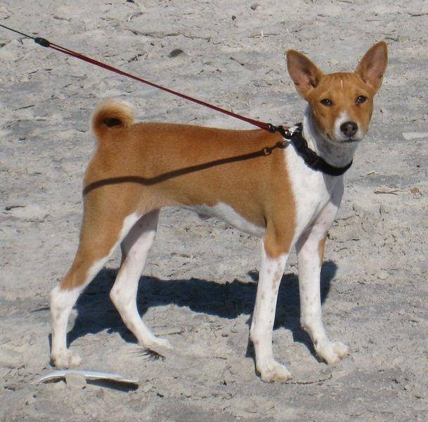 Basenji Dogs, Dog breeds, Animals