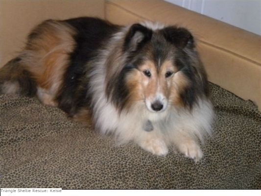 Sheltie Dogs For Adoption Triangle Sheltie Rescue Of North