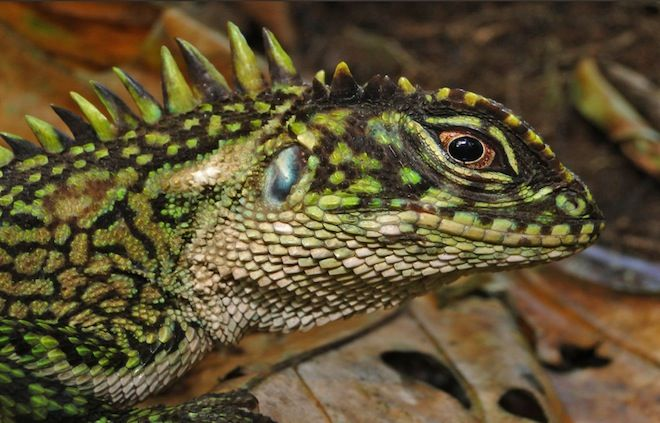 New Lizard Species Look Like Evil Dinosaur Hybrids Lizard