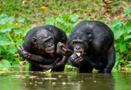 Chimpanzés infectados em testes de vacinas são abandonados