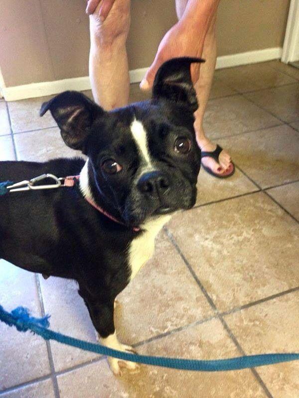 Founddog 6 9 15 Farmington Mo Bostonterrier Farmington Pet Adoption Center Https Www Facebook Com Missour Losing A Dog Pet Adoption Center Boston Terrier