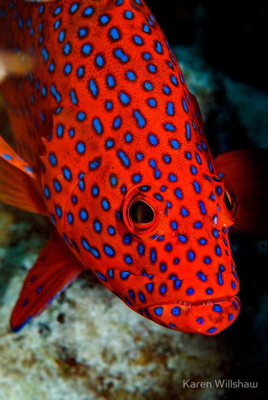 LMermaid's Dive: Polka Dots - Cocos (Keeling) Islands by Karen Willshaw