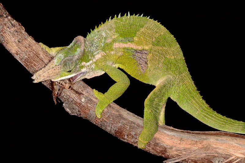 Fischers chameleon fischers kameleon amphibians reptiles fischers chameleon fischers kameleon thecheapjerseys Choice Image