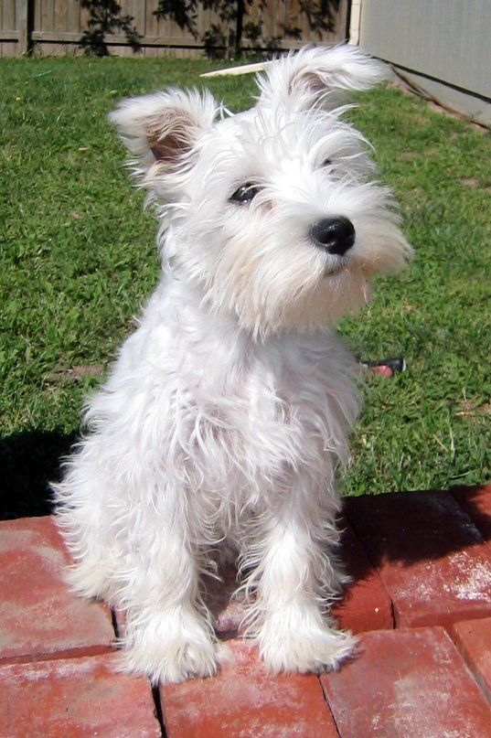 Puppy Images And Review In 2020 White Miniature Schnauzer Miniature Schnauzer Schnauzer Puppy