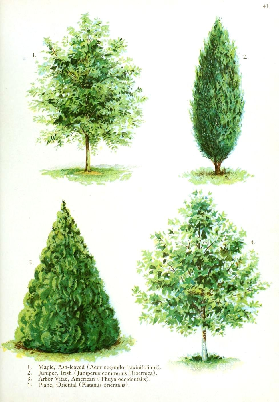 Botanical Tree Type Illustration Watercolor Trees Bonsai Tree