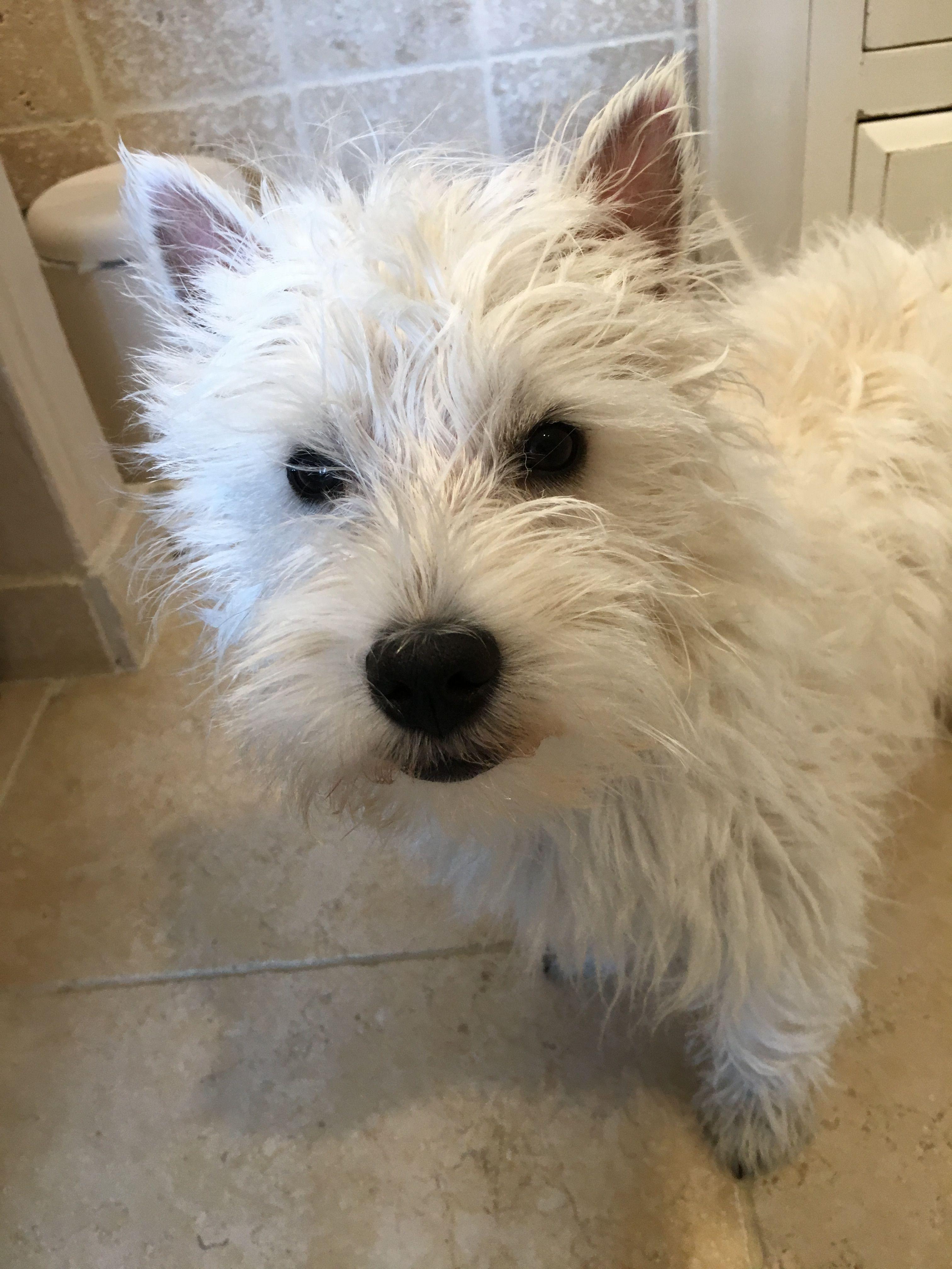 Fluffy Romy Westie Puppy Westie Puppies Westies Westie Terrier