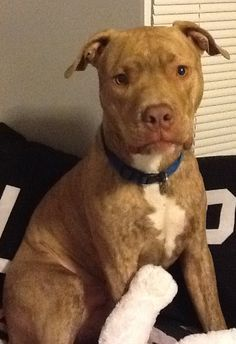 O Boxer Baba Muito Red Nose Pit Mixed Wit...