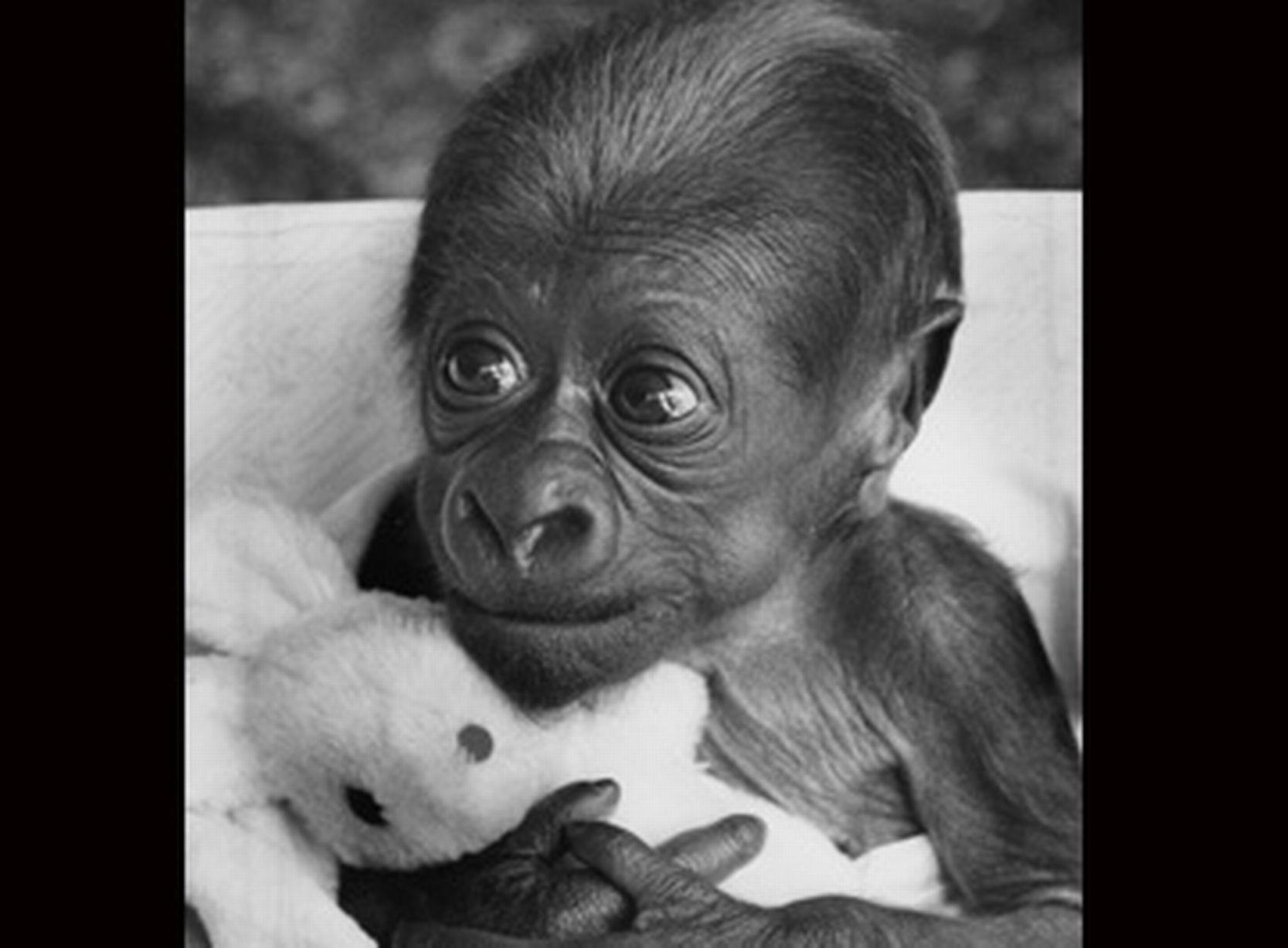 Asante A Baby Gorilla At Twycross Zoo Leicestershire In 1985 Animals Baby Animals Baby Gorillas