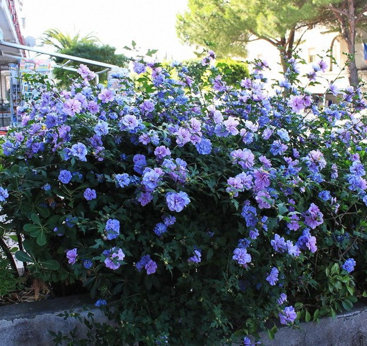 HIBISCUS \'Blue Chiffon\' Rose of Sharon | ~✿ Shrubs, Bushes & Small ...