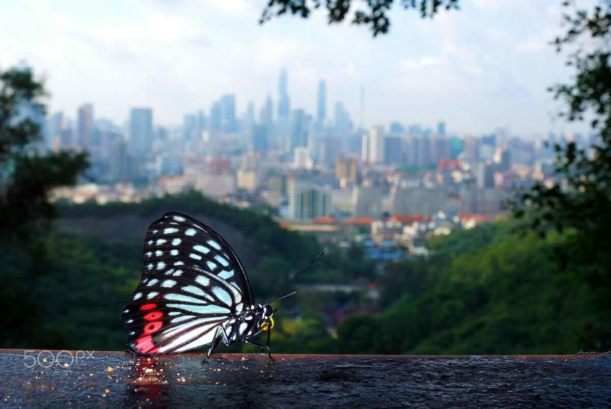 The butterfly - The butterfly and GuangZhou