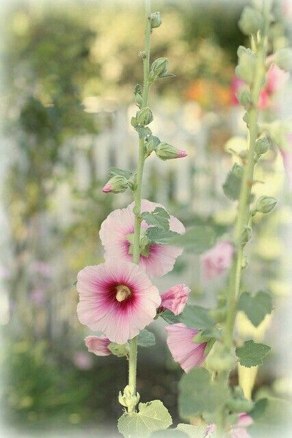 Pin by Melpo Siouti on Hollyhock Cottage Pinterest
