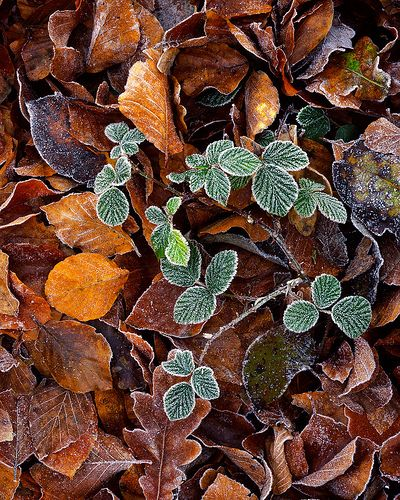 Frost on autumn leaves and bramble