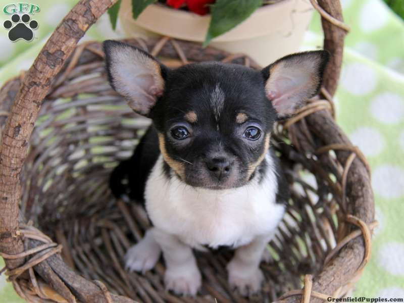 Moona, Chihuahua puppy for sale in Paradise, Pa