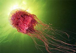 Mesmerizing Photos of Jellyfish by Alexander Semenov