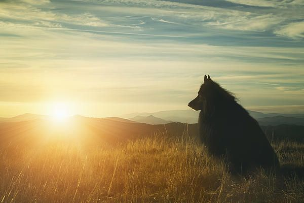 WolfCub, Belgian Shepherd watching the sun go down.