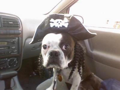 Boston Terrier in pirate costume Boston terrier, Boston