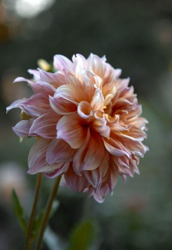 Dinner-plate dahlia - a lovely peony alternative! #dahlia & Dinner-plate dahlia - a lovely peony alternative! #dahlia | Gardens ...