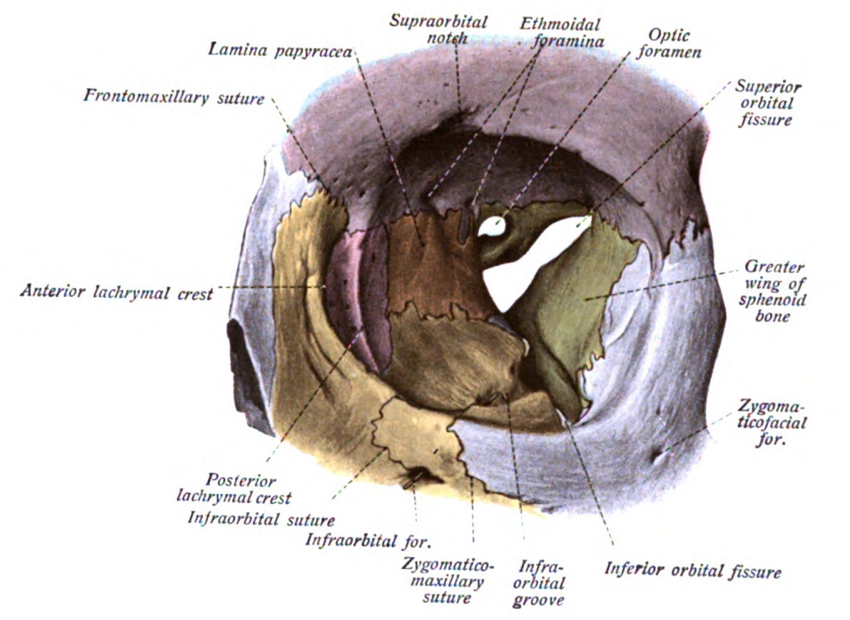 Orbital rim google opt2204 pinterest anatomy and orbital rim google ccuart Choice Image