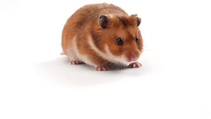 All About Syrian Teddy Bear Hamster With Images Bear Hamster Hamster Small Pets