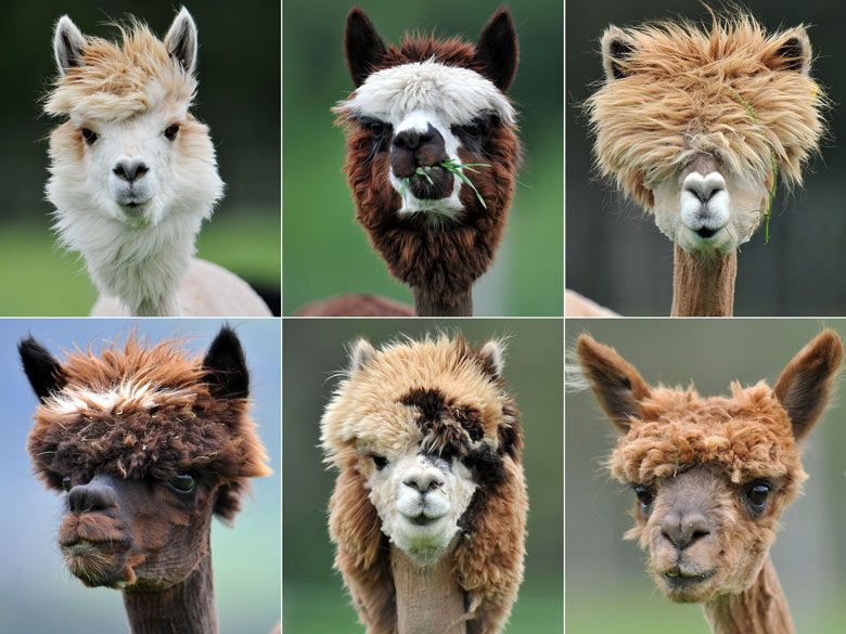 No One Can Be Unhappy When You See These Beautiful Animals It Is - 22 hilarious alpaca hairstyles
