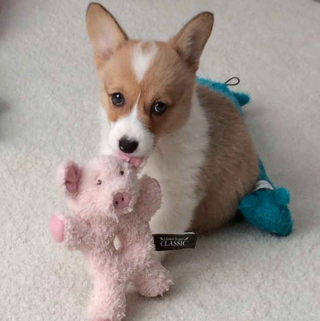 Pigs? WHO CARES. They don't bother you. | Don't Be Sad, Look At These Corgi Puppies