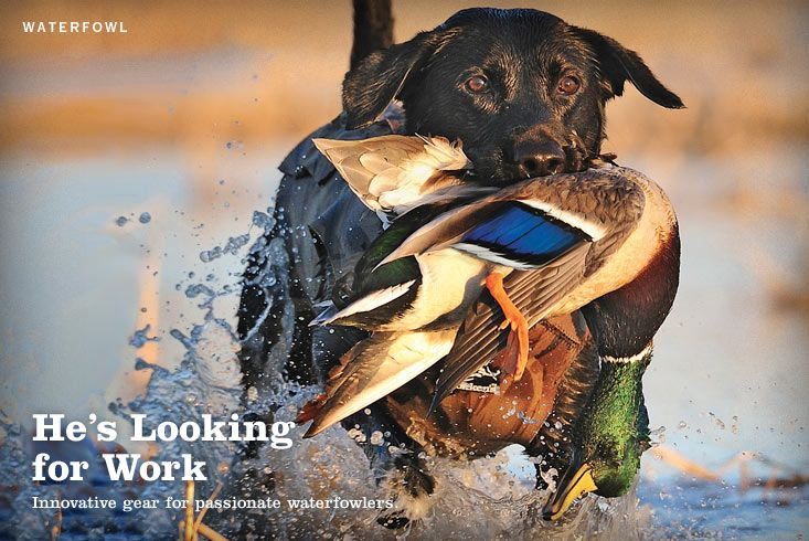 Black Lab Pulling A Mallard Out Of The Water From Orvis Website