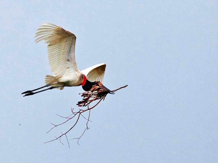 Tuiuiú, ave símbolo pantaneira preparando o seu ninho