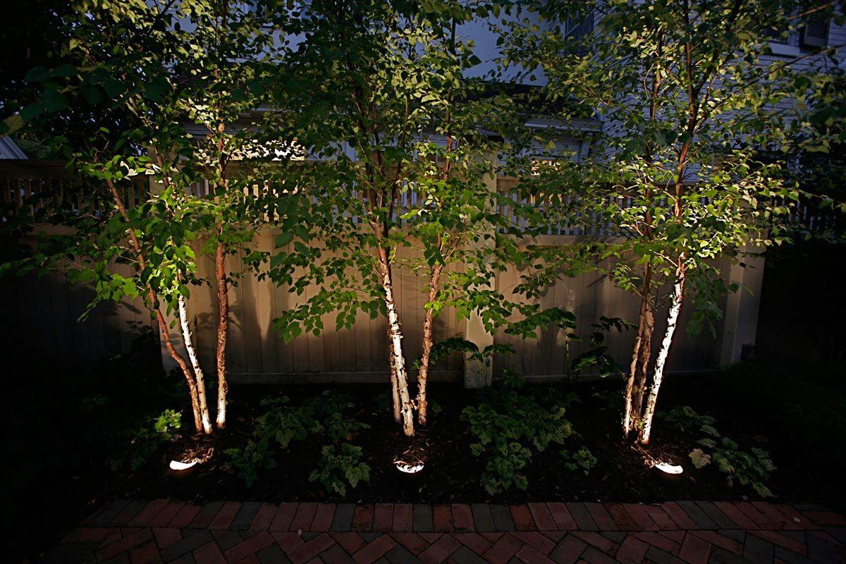 05 Uplighting Clump Trees 1 Jpg 1 200 800 Pixels River Birch Trees Landscape River Birch Trees Birch Trees Landscaping