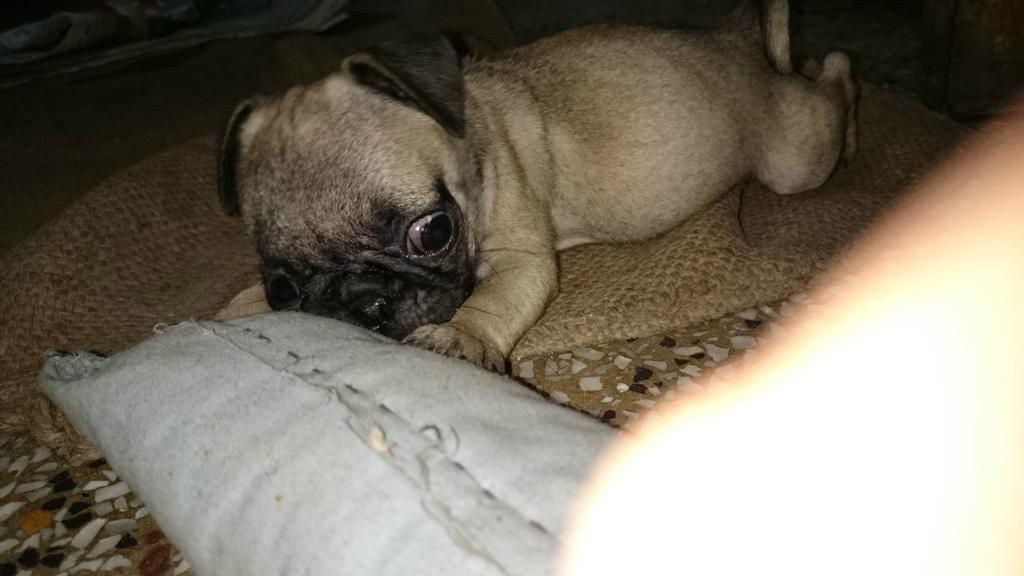 Puggu : Me When I was one month old :p #pug #pugs #puglife
