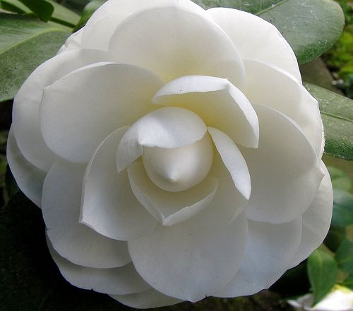 Camellia White Adoration Perfection Loveliness Camellia Tree Flowers Camellia Flower