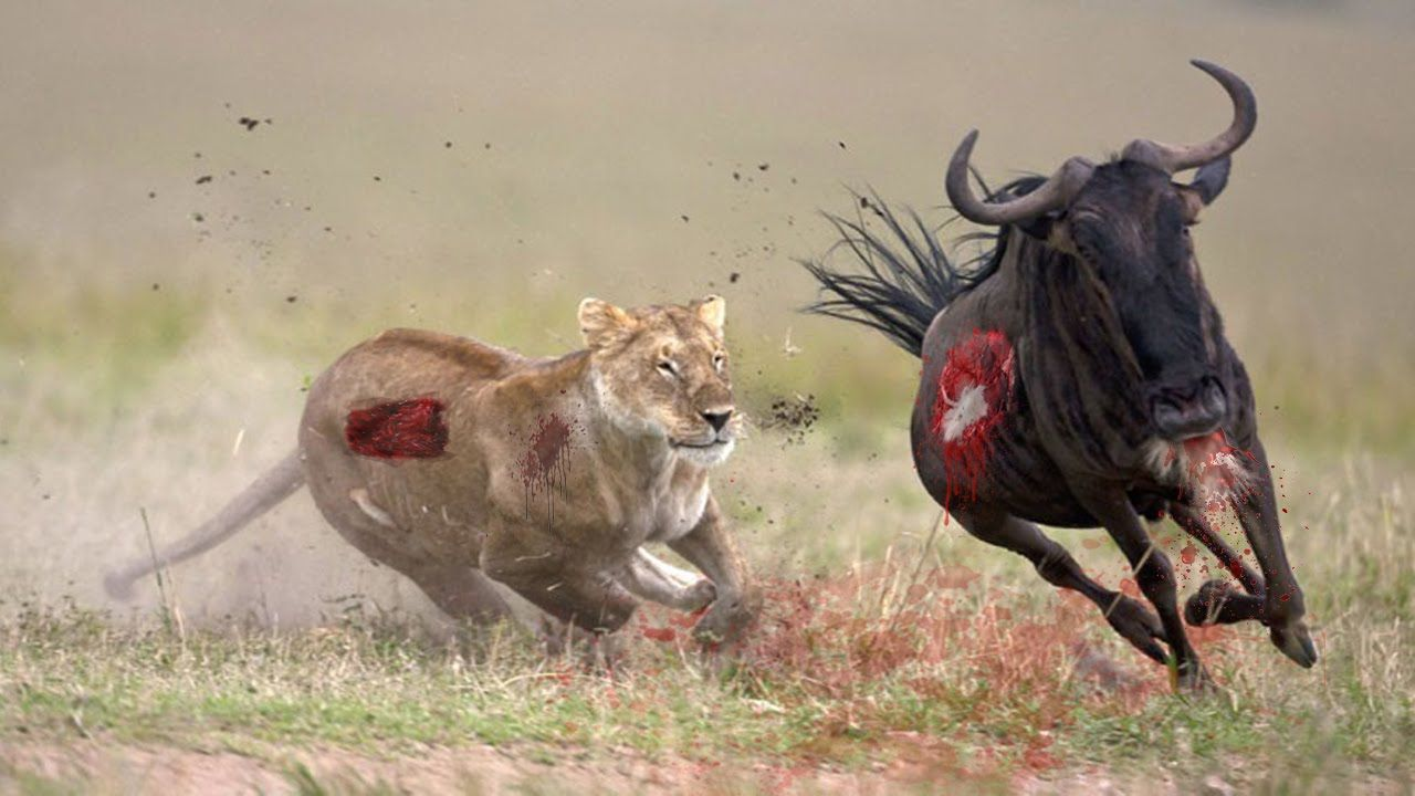 Two African lion males roar and fight in family quarrel
