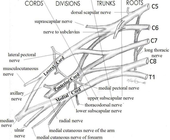 brachial plexus divisions