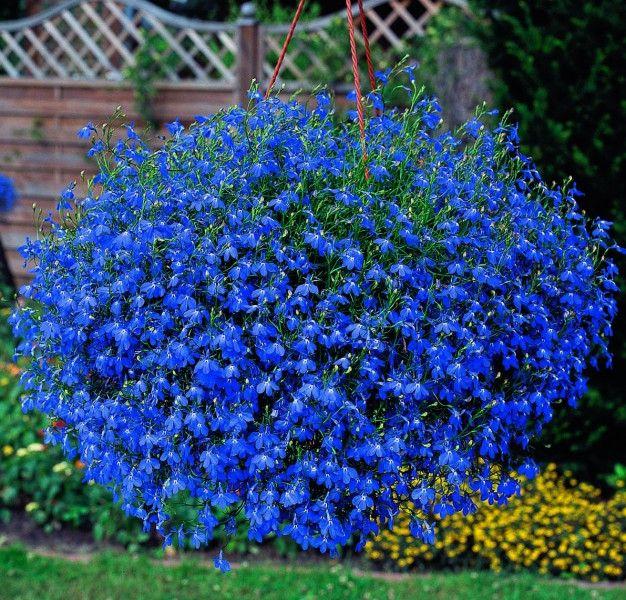 Kwiaty Jednoroczne Lobelia Niebieska Ogrod Kwiaty Doniczkowe Na Balkon Lobelia Flowers Bonsai Flower Garden Seeds