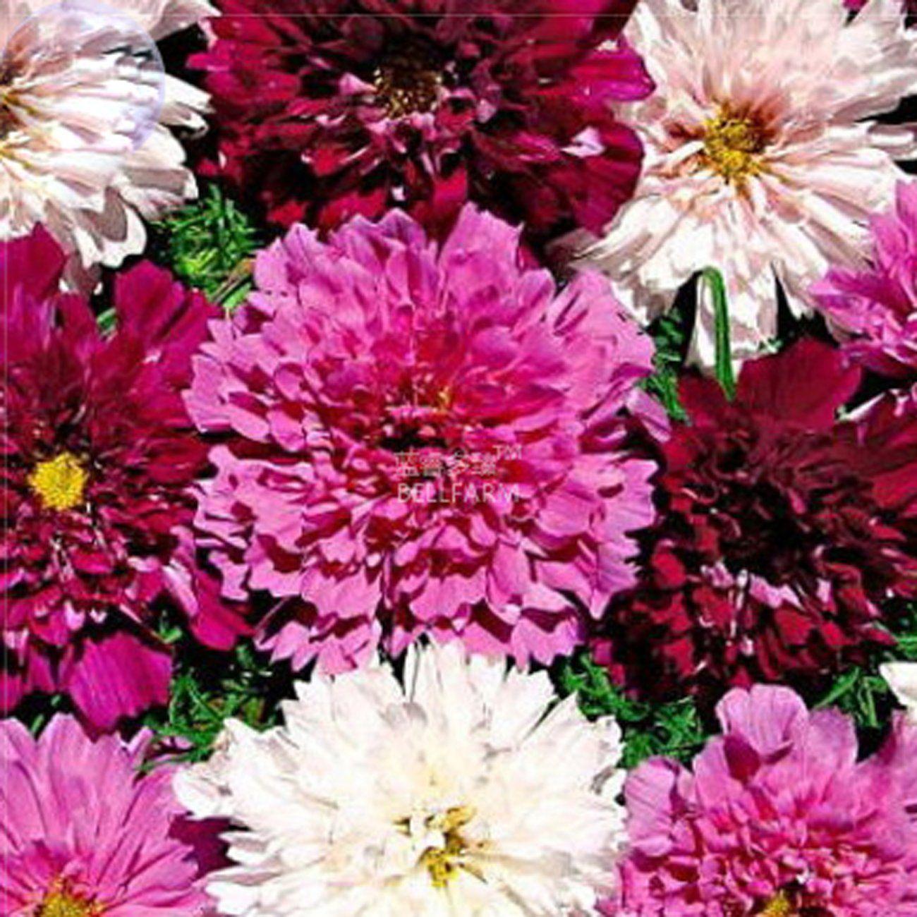 Amazon best garden seeds rare cosmos coreopsis double petals amazon best garden seeds rare cosmos coreopsis double petals dark red white pink izmirmasajfo