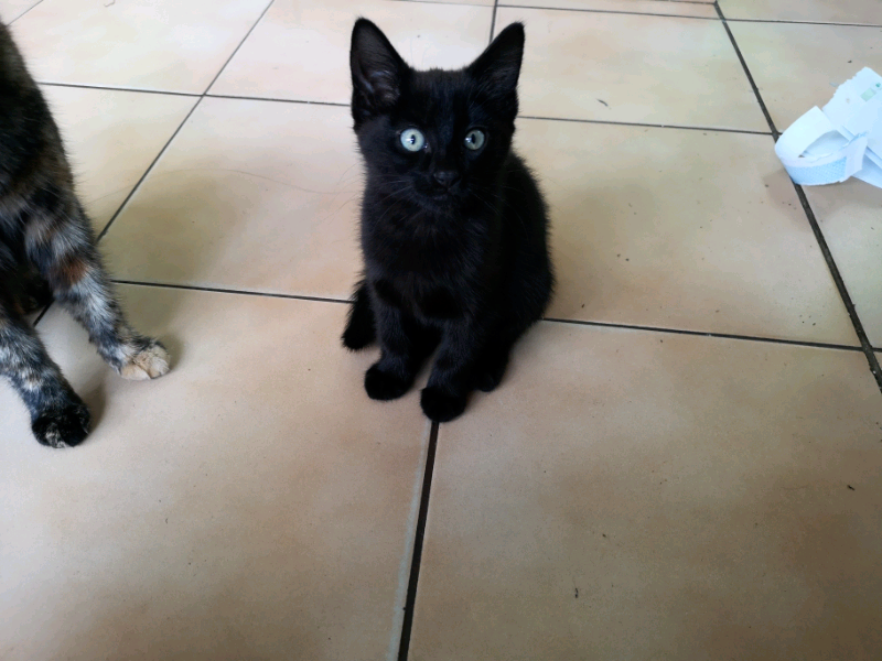 Mixed Breed 8 Weeks Old Kittens Girl In Enfield London