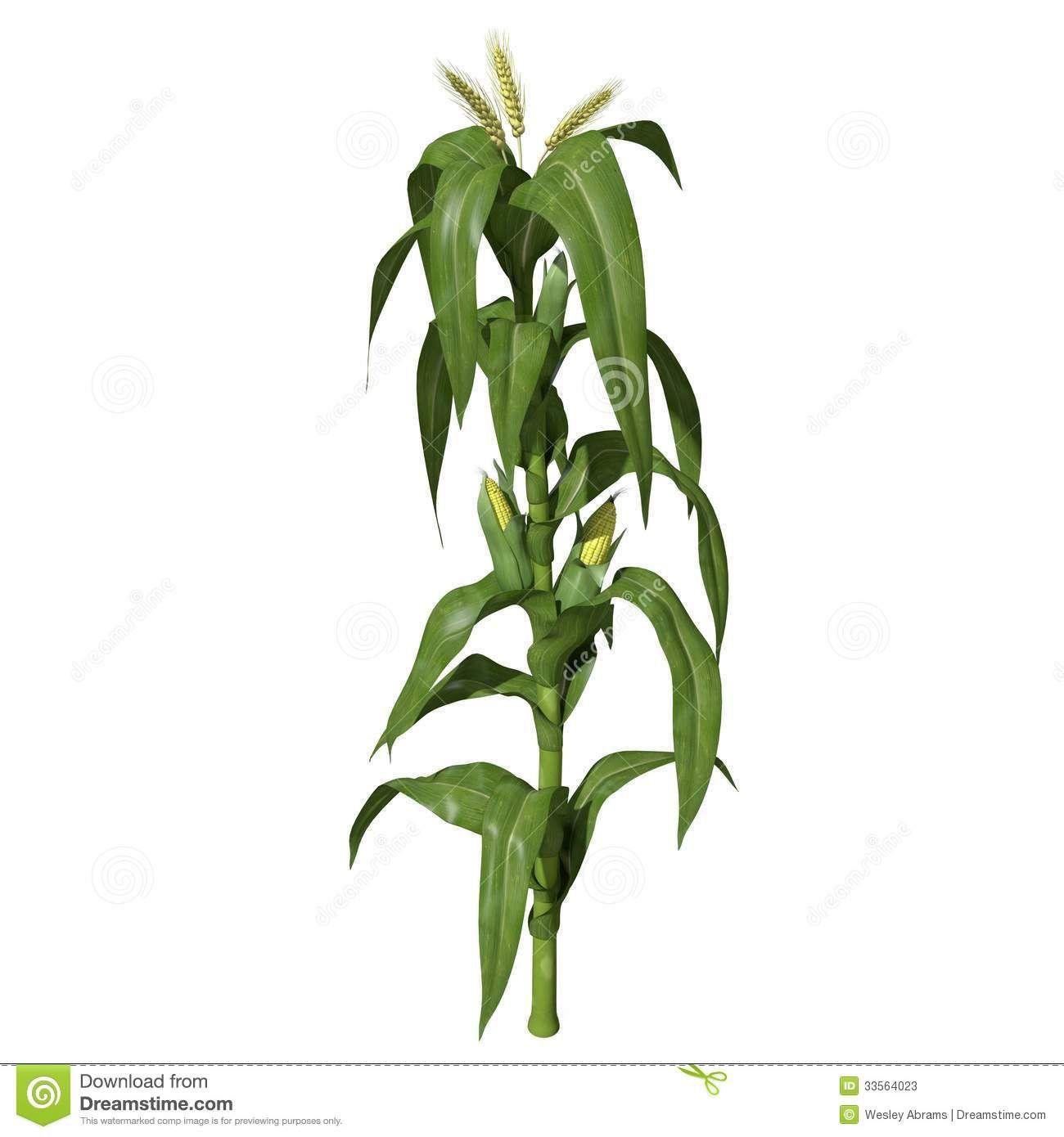 Corn Plant 3d corn stalks model | Неделя 15- лиственные растения 2