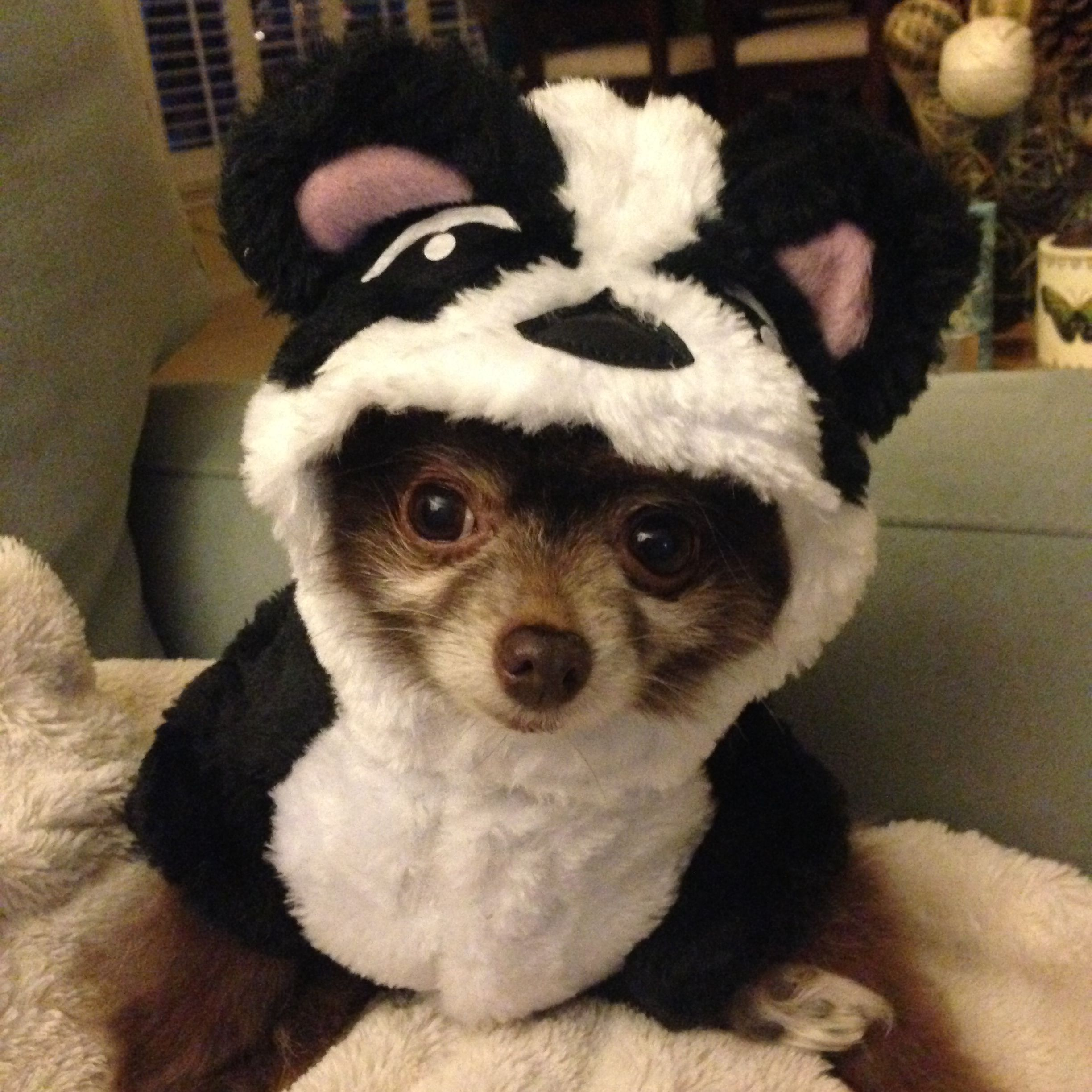 Pomeranian In Panda Costume