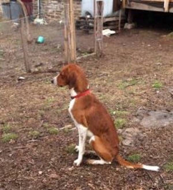 Missing Arkansas 2yo American Foxhound Oliver Lost