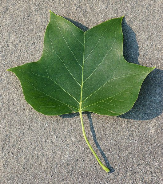 Yellow Tulip Poplar Or The American Tulip Tree Tulip Poplar Leaf Maple Tree Tattoos Tulip Poplars