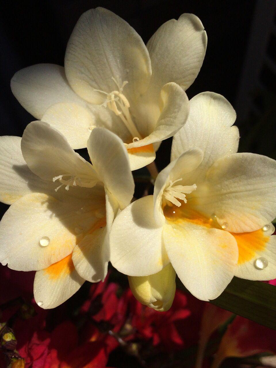 Freesia White Spring