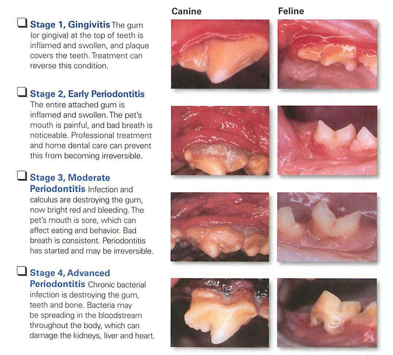 dental | Beverly Hills Small Animal Hospital | Vet Med Stuff | Pinterest