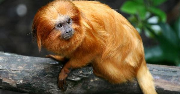 Image result for golden lion tamarin in the amazon rainforest