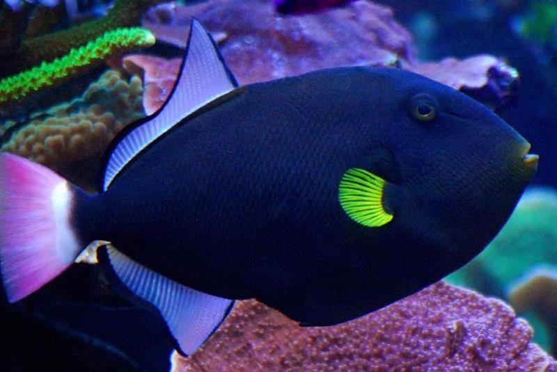 Pink Tail Trigger Fiji Saltwater Tank Marine Fish Saltwater Aquarium