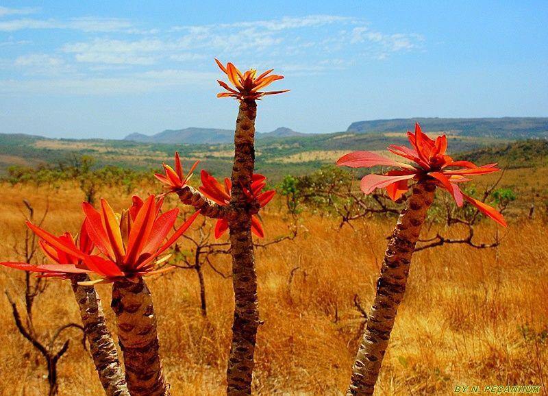 Pirenopolis Nº 022 Flores Do Cerrado Pirenopolis Goias