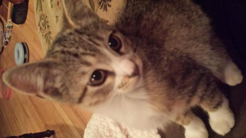 Julie is an adoptable Tabby - Grey searching for a forever family near Hawthorne, NJ. Use Petfinder to find adoptable pets in your area.