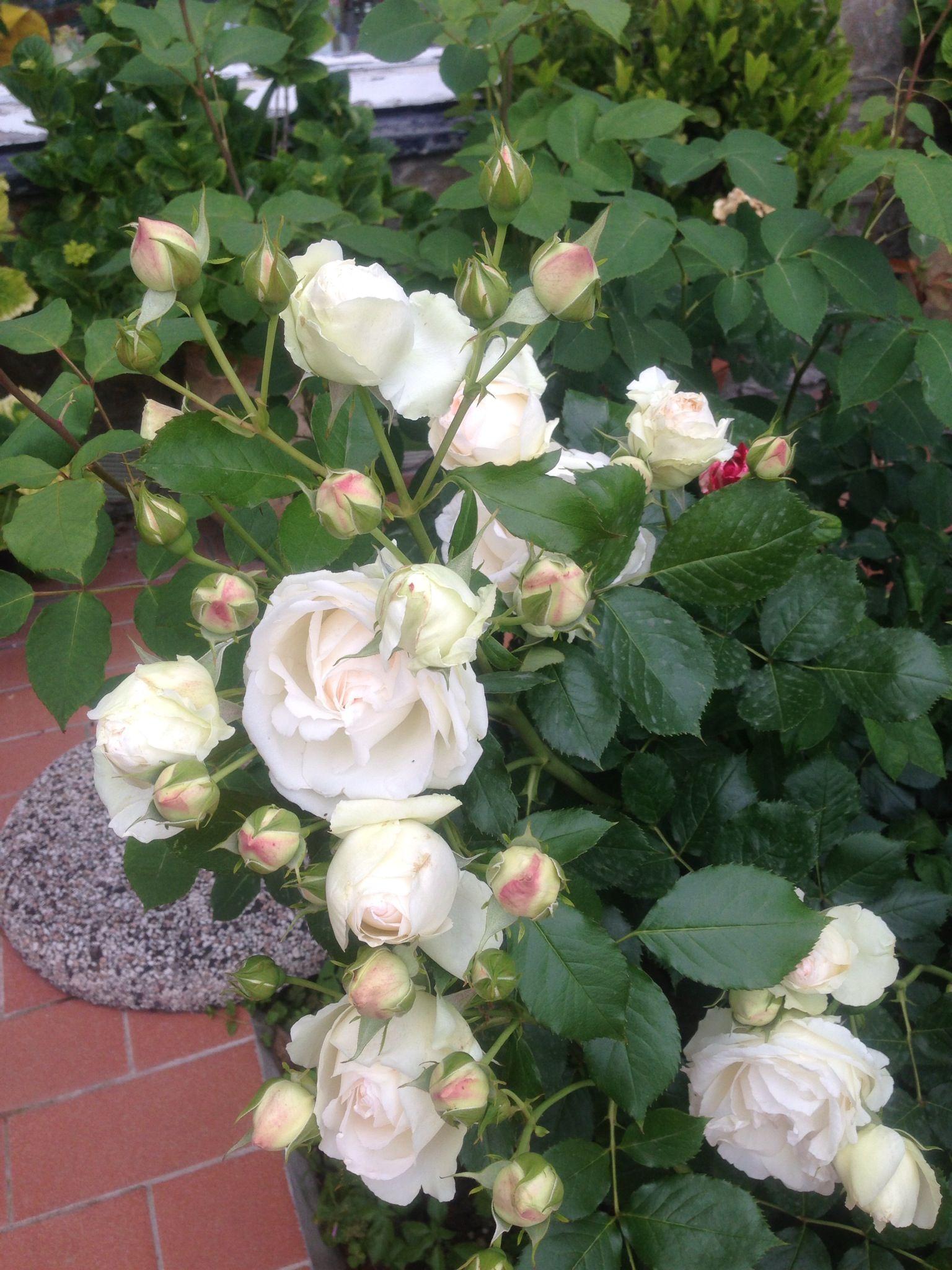 My roses in the garden