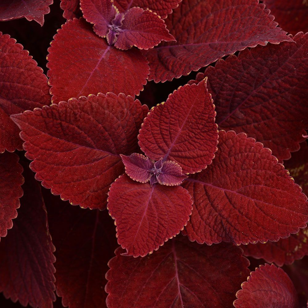 Coleus Ruby Slipper 14 inches tall, can tolerate sun