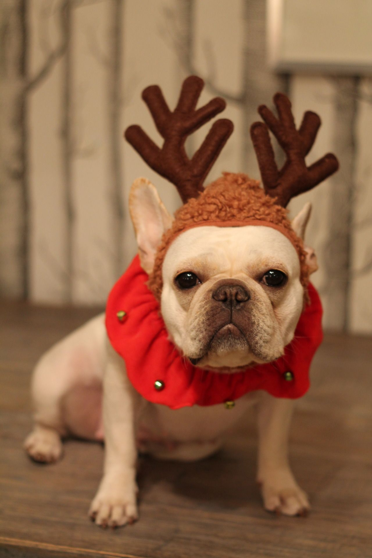 Christmas Frenchie Lulu And The Mister Christmas Dog Christmas Animals Pet Costumes