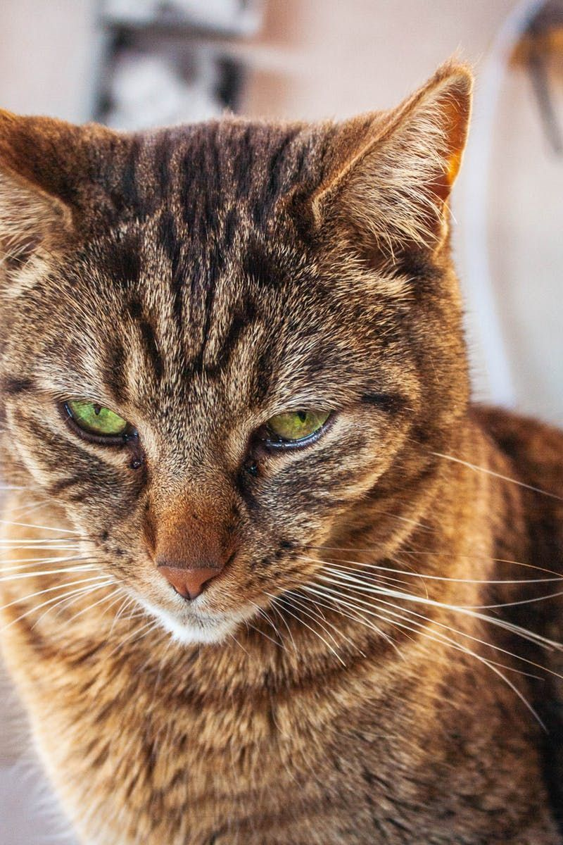 6+ Excellent What It Means to Be a Tabby Cat Ideas Tabby