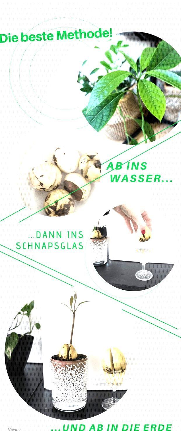Avocado Pflänzchen ziehen – Mit dieser Methode gelingt es sicher! Ich habe viele Methoden auspro